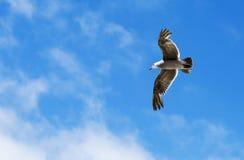 Pássaro durante o voo Imagem de Stock