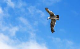 Pássaro durante o voo Foto de Stock Royalty Free