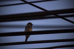 Pássaro e fio do pardal Imagens de Stock