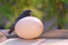 Pássaro e ovo pequenos Fotos de Stock