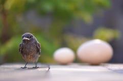 Pássaro e ovos pequenos Fotografia de Stock