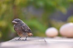 Pássaro e ovos pequenos Fotos de Stock Royalty Free