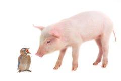 Pássaro e porco fotos de stock