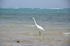 Pássaro egípcio da garça-real - íbis do Bubulcus fotos de stock