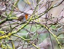 Pássaro em Bush Fotos de Stock