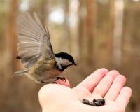 Pássaro em minha mão Fotos de Stock Royalty Free