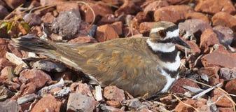 Pássaro em seu ninho Fotos de Stock