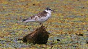 Pássaro em um lago filme