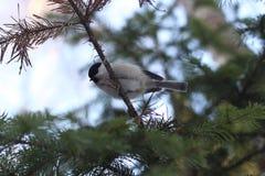 Pássaro em um ramo Imagem de Stock