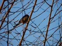 Pássaro em um ramo Imagem de Stock Royalty Free
