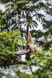 Pássaro em uma árvore em Costa Rica Imagem de Stock