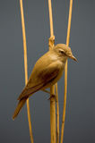 Pássaro em uma filial Fotografia de Stock Royalty Free