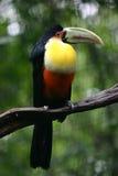 Pássaro em uma filial, Brasil de Toucan Foto de Stock