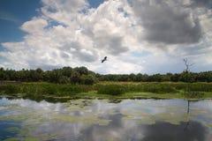 Pássaro em voo sobre Cay Wetlands verde imagens de stock royalty free