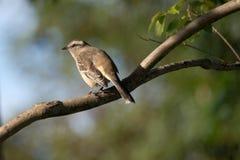 Pássaro empoleirado na filial (Furnarius) Foto de Stock Royalty Free