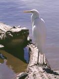 Pássaro empoleirado no jacaré Fotos de Stock Royalty Free