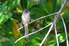 Pássaro endêmico de Pewee do cubano, caribaeus do Contopus na floresta dos manguezais Fotografia de Stock Royalty Free