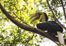 Pássaro envolvido do Hornbill imagens de stock royalty free