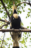 Pássaro envolvido do Hornbill imagem de stock
