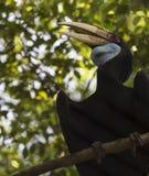 Pássaro envolvido do Hornbill imagem de stock royalty free