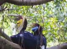 Pássaro envolvido do Hornbill fotos de stock royalty free