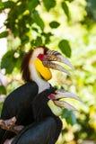 Pássaro envolvido do Hornbill na ilha Indonésia de Bali Imagem de Stock