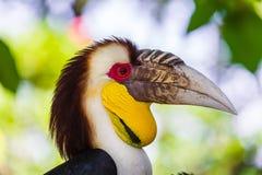 Pássaro envolvido do Hornbill na ilha Indonésia de Bali Fotos de Stock