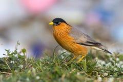 Pássaro, estorninho de Brahminy (03) Fotos de Stock Royalty Free