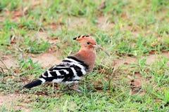 Pássaro euro-asiático do Hoopoe fotos de stock