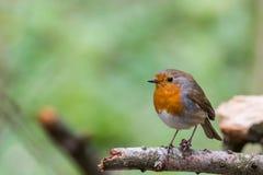 Pássaro europeu do pisco de peito vermelho foto de stock