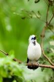 Pássaro exótico branco em um ramo que canta fotografia de stock royalty free