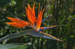 Pássaro exótico da flor de paraíso Imagem de Stock Royalty Free