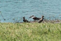 P?ssaro ex?tico, espumadeira preta, Rynchops niger, estando no Lagoa a Dinamarca Chica, em Florianopolis, Brasil fotografia de stock