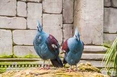 Pássaro exótico Goura Victoria Imagens de Stock