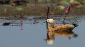 Pássaro, ferruginea de Ruddy Shelduck Tadorna Foto de Stock
