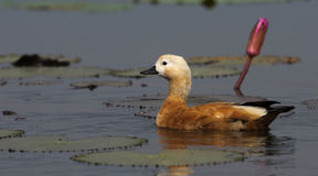 Pássaro, ferruginea de Ruddy Shelduck Tadorna Fotografia de Stock