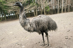 Pássaro Flightless do emu Foto de Stock Royalty Free