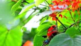 Pássaro fody vermelho masculino de Madagáscar que come a borboleta Foto de Stock