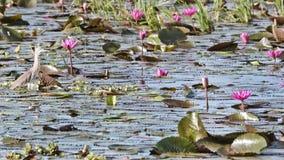 Pássaro (garça-real chinesa) da lagoa, Tailândia Foto de Stock
