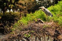 Pássaro: Garça-real, pintainhos em uma parte superior da árvore Fotos de Stock Royalty Free