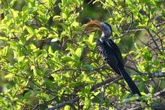 Pássaro grande do bico Fotografia de Stock Royalty Free
