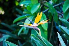 Pássaro havaiano bonito da flor de Paradise imagens de stock