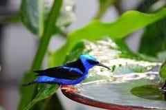 Pássaro, Honeycreeper de patas encarnadas foto de stock royalty free