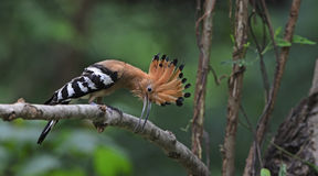 Pássaro, Hoopoe euro-asiático ou epops comuns do Upupa do Hoopoe Imagens de Stock Royalty Free
