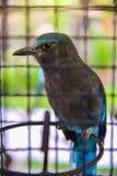 Pássaro indiano do rolo Imagens de Stock