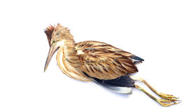 Pássaro inoperante Foto de Stock