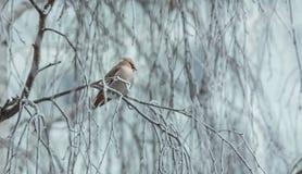 Pássaro irritado no inverno que senta-se em um ramo de árvore Imagens de Stock Royalty Free