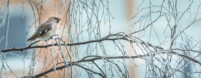 Pássaro irritado no inverno que senta-se em um ramo de árvore Imagens de Stock