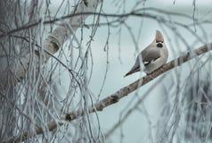Pássaro irritado no inverno que senta-se em um ramo de árvore Imagem de Stock Royalty Free