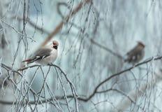 Pássaro irritado no inverno que senta-se em um ramo de árvore Fotos de Stock